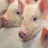 到2020年养猪产业将不再需抗生素?